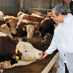 Росстат: молочное производство и поголовье КРС в России ежегодно сокращается на 1,5-2%