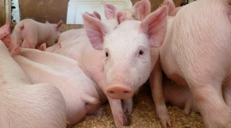 Производство свиней на убой в 2016 году выросло почти на 10%