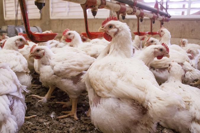 Под Ростовом уничтожили всё поголовье птиц в зоне очага гриппа