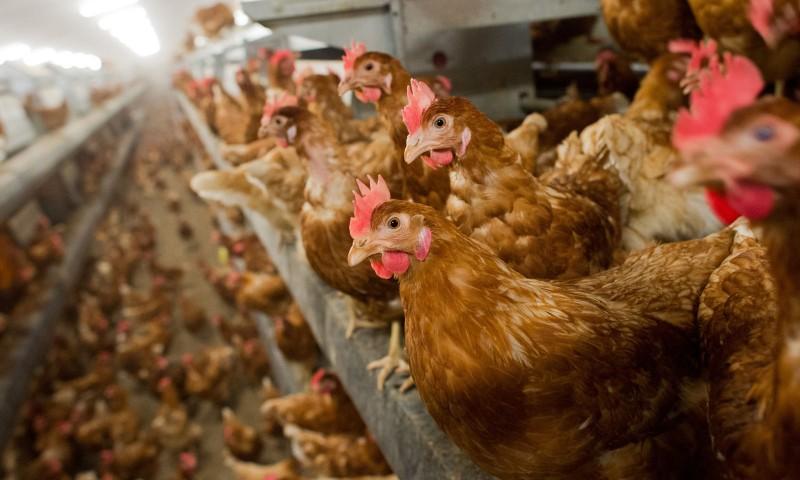 На птицефабрике в Ростовской области зафиксирована вспышка птичьего гриппа