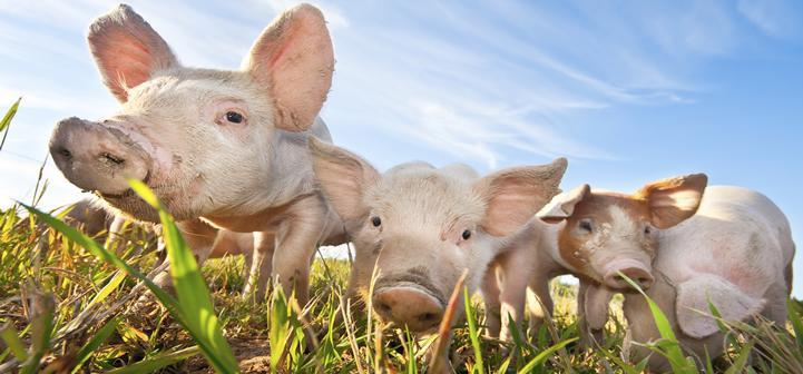 В Ростовской области выявили заражение африканской чумой свиней