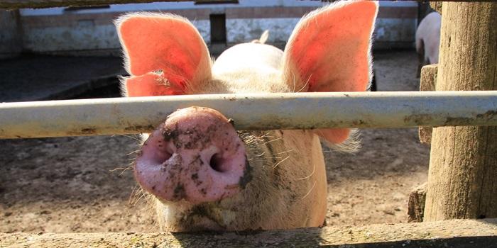 Ростовская область: Почти 300 свиней были сожжены дотла в Морозовском районе после обнаружения африканской чумы