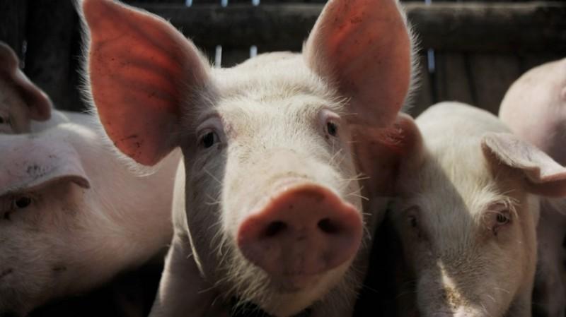 В Воронежской области строят новые свинокомплексы