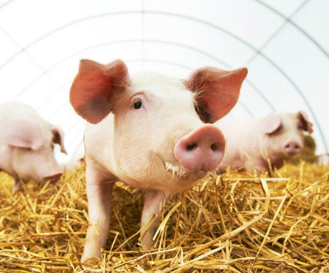 Марьянский свинокомплекс реконструируют