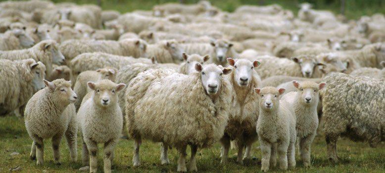Поголовье овец на Ставрополье планируют увеличить в 1,5 раза