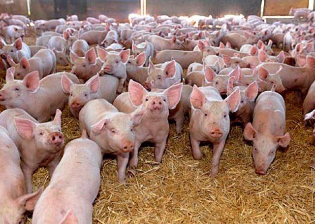 Мировое производство свинины сократится на 4% из-за АЧС