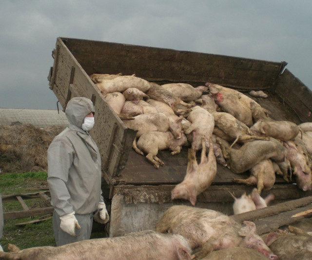 Ростовское правительство возместит ущерб от чумы свиней