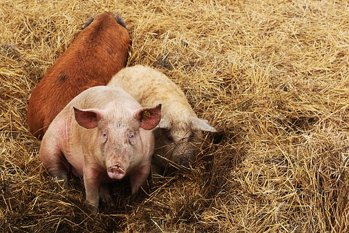 Влияние АЧС на мировой мясной рынок становится очевидным