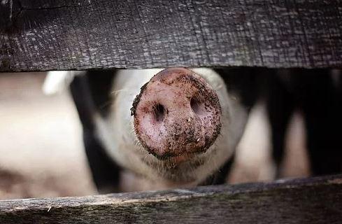Обзор свиного рынка ЕС: цены растут вторую неделю подряд