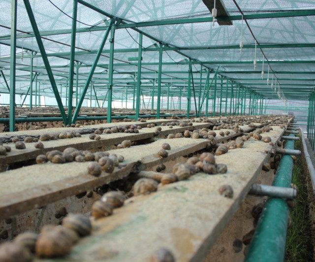 В Ставропольском крае планируют производить до 100 тонн мяса улиток в год