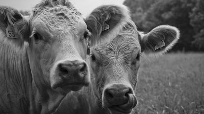 Воронежская область выделяет 1,2 млрд рублей на поддержку скотоводов