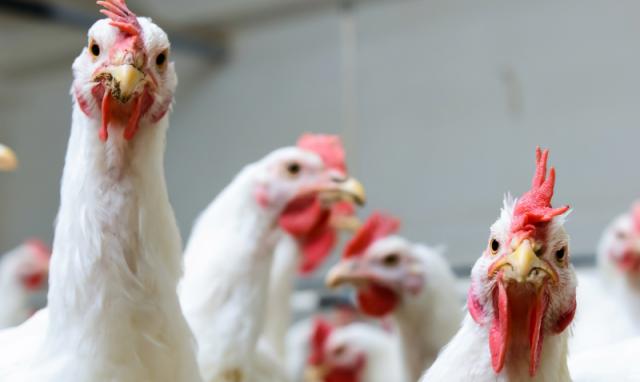 Дагестанский «Батыр-бройлер» планирует наладить экспорт птицеводческой продукции в Азербайджан