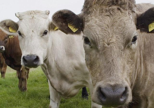 Ростовская область: поголовье крупного рогатого скота выросло более чем на 2% в 2020 г.