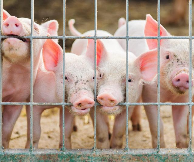 Россия запретила поставки свинины из Нигерии из-за крупной вспышки АЧС
