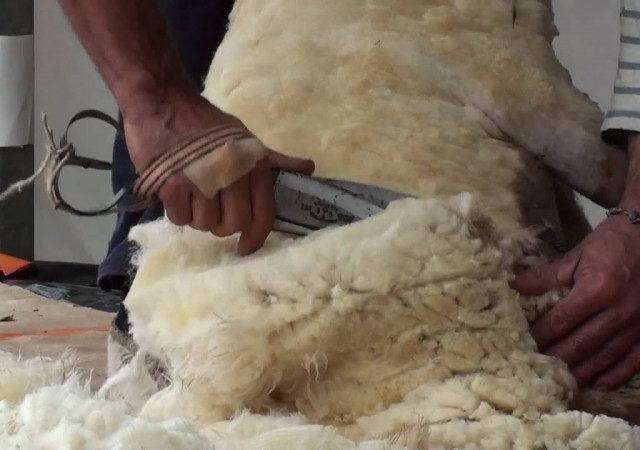 На Ставрополье завершилась стрижка овец