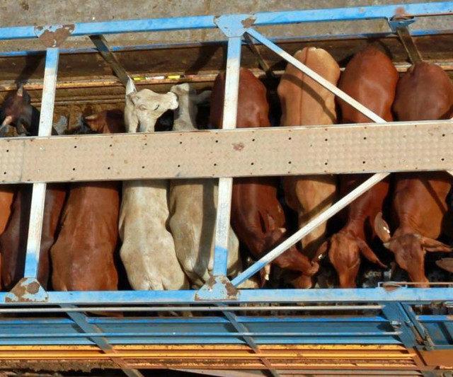 Ставрополье впервые экспортировало племенной скот в Армению