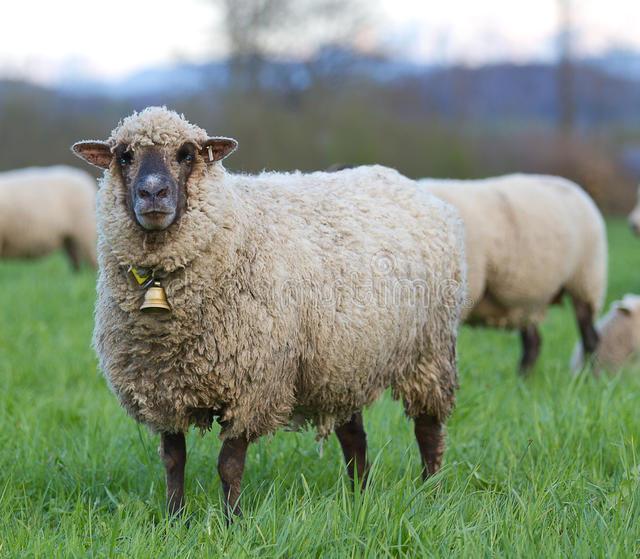 В Ростовской области выводят новый тип сальской породы овец