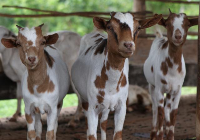 Козья ферма «за стеклом» станет изюминкой агротуризма в Ставропольском крае