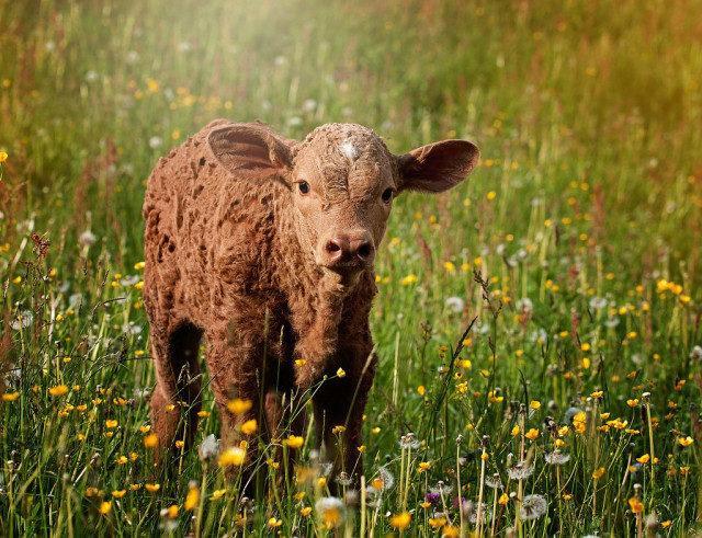 Корова – кто ты? Часть вторая