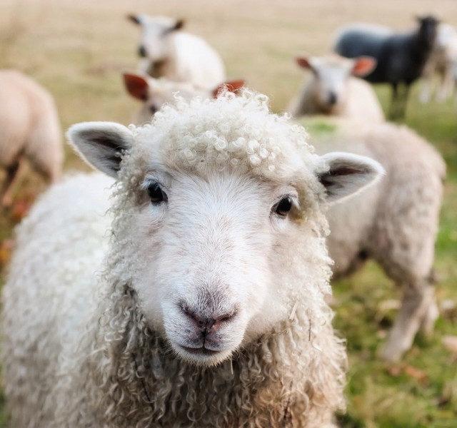 Выставка племенных овец и коз состоится в Минеральных Водах