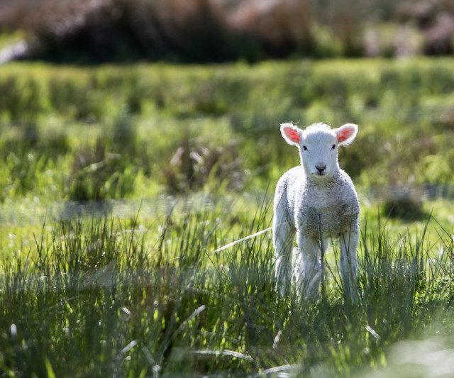 Ставропольский племзавод завоевал медаль на XXI российской выставке овец и коз