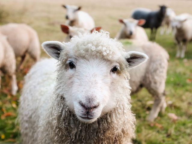 Ташлинская порода овец – и отличная шерсть, и мраморное мясо