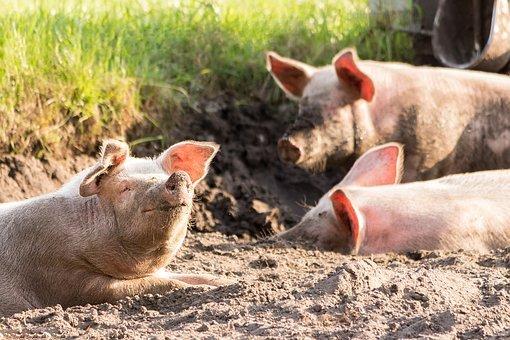 Производство свинины в 2021 году увеличится